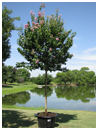 Crape Myrtle 'Muskogee' 65 Gallon Single Trunk