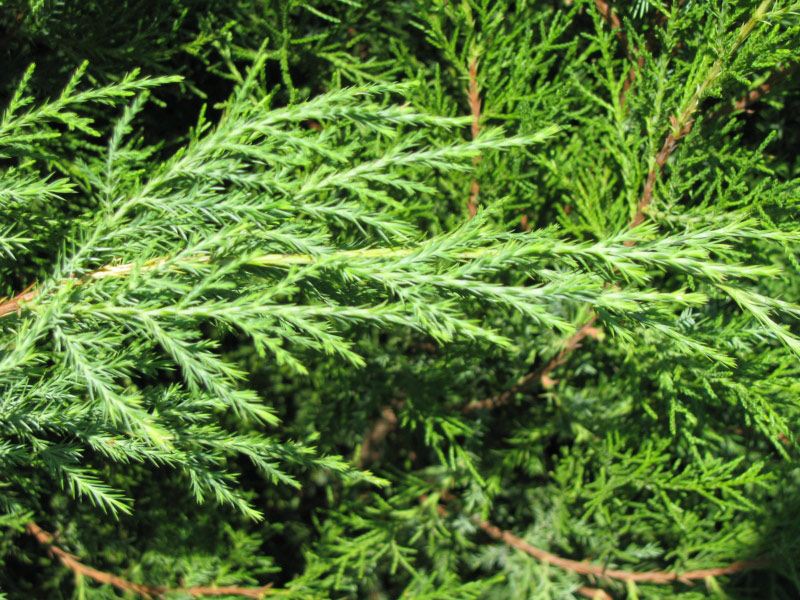 Small Cedar Tree Varieties ~ What kind of shrub