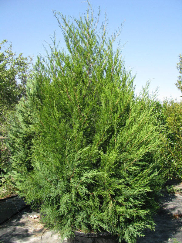 This is the solution pictures of small cedar trees