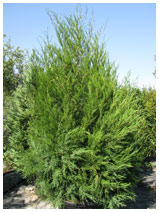 Eastern Red Cedar 30 Gallon