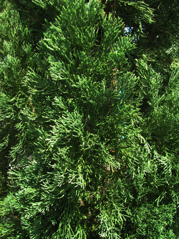 Pictures Of Italian Cypress Tree 20