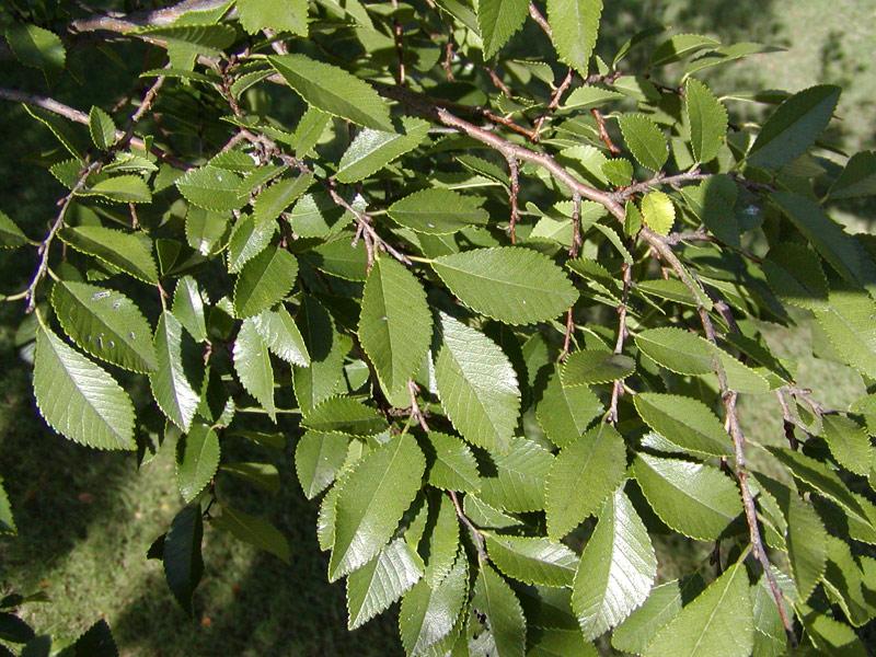 Lacebark elm leaf