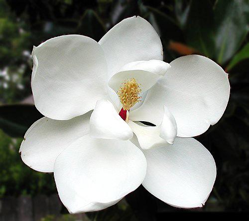 magnolia tree facts. The Little Gem Magnolia is