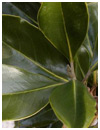 Little Gem Magnolia Tree Leaf