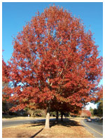 Red Oak Fall Color