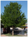 Red Oak Mature