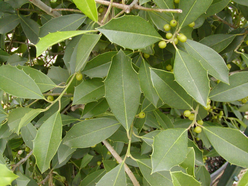 Pin lacebark elm on pinterest