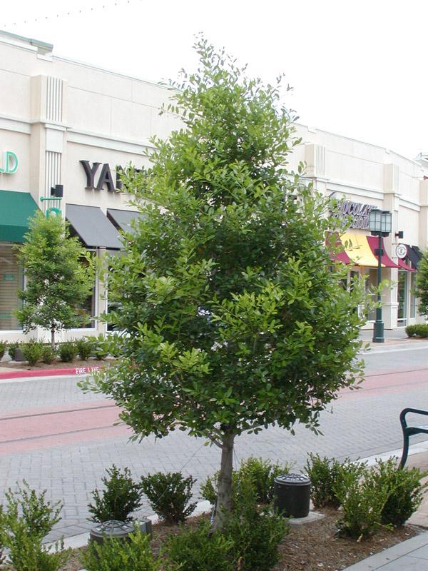 Savannah Holly Tree Growth Rate