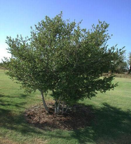 yaupon holly tree