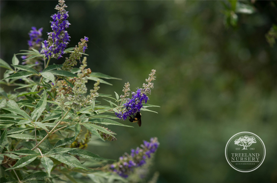 Dark Purple Flowers on 'Delta Blue' Vitex