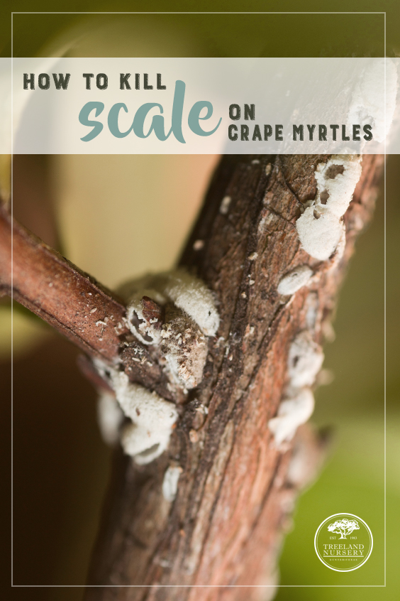 how to kill scale on crape myrtles