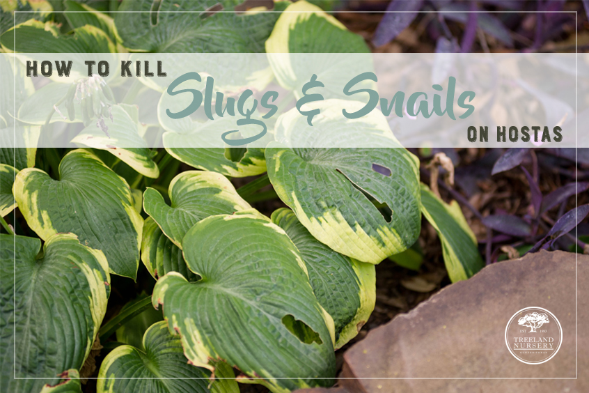 How to kill slugs and snails on hostas