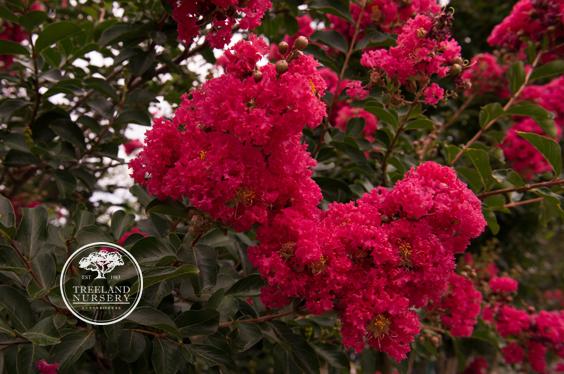 Tuscarora Crape Myrtle Flower