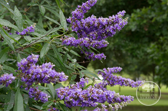 Vitex 'Shoal' Creek Flowers