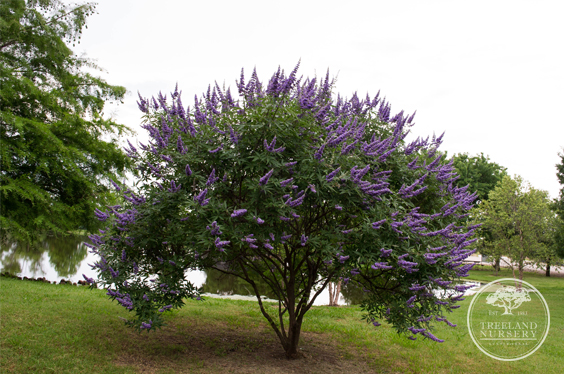 Vitex 'Shoal Creek' landscaped in front of pond