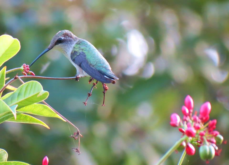 Photographed by Gay Laurine Nuckolls // Juvenile Male Ruby-Throated Hummingbird