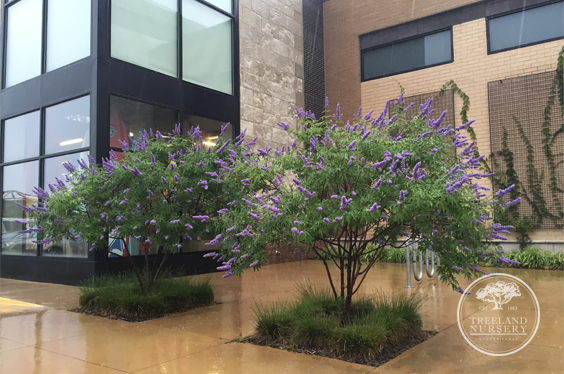 Vitex are my favorite purple flowering tree in texas mightylinksfo