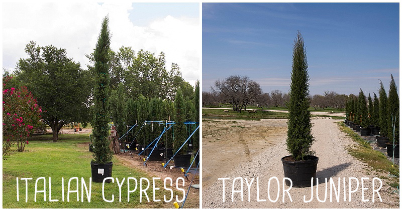 Italian Cypress vs. Taylor Juniper