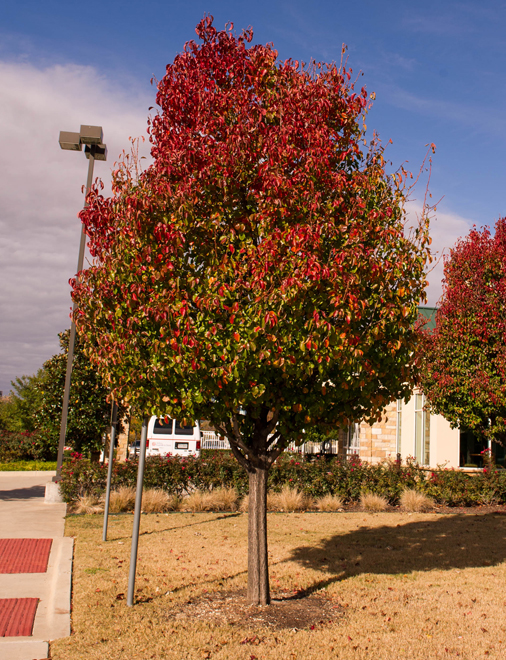Cleveland Select Pear Tree with Fall Color