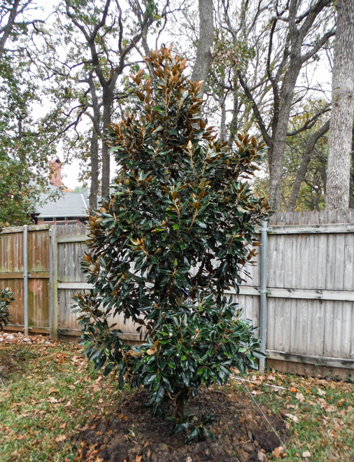 Little Gem Magnolia planted by Treeland Nursery