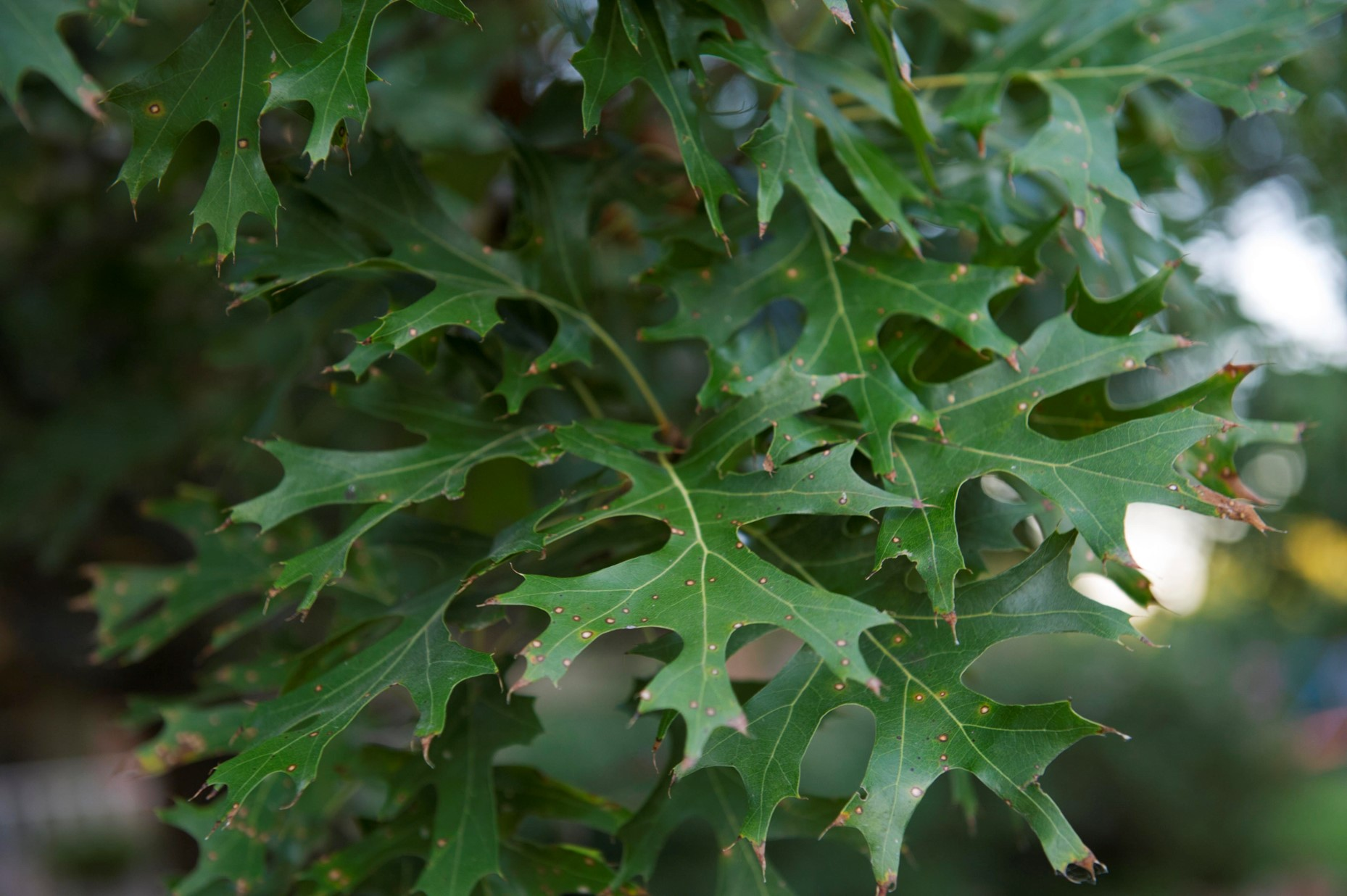 What are these brown spots on my Red Oak leaves?