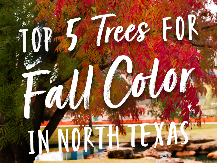 Top 5 Trees for Fall Color in North Texas