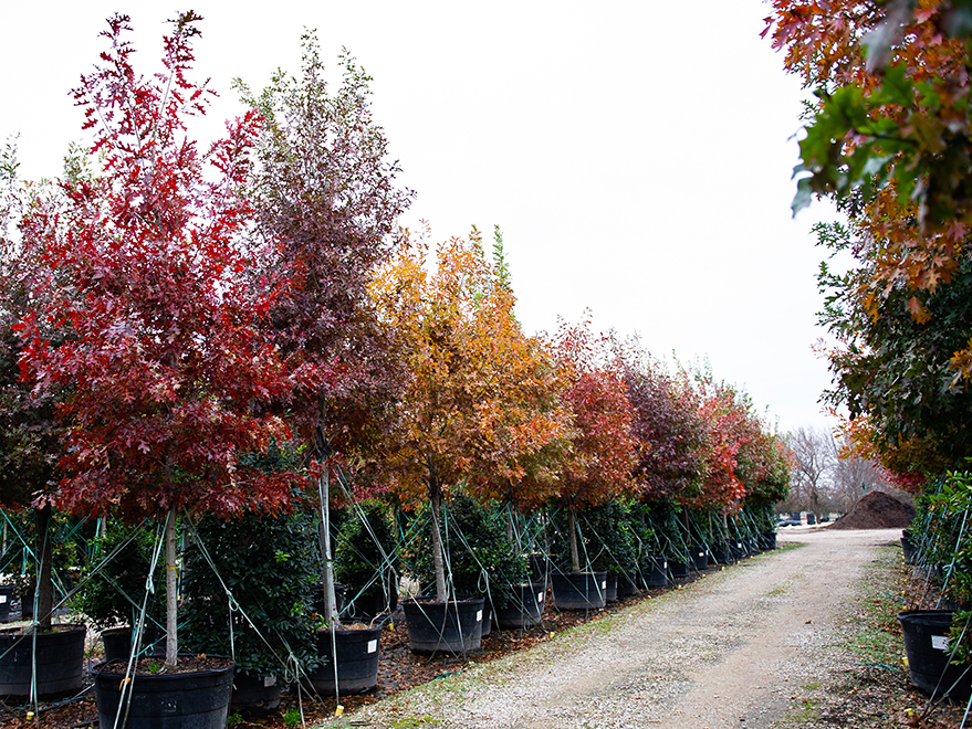 best trees for fall foliage and color in north texas