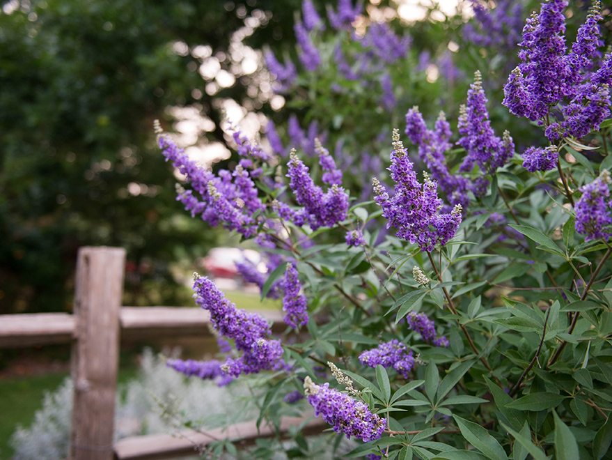 The Vitex Tree – A North Texas Favorite