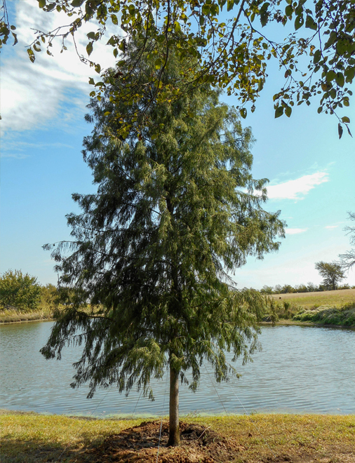 Large Bald Cypress tree planted near a pond by Treeland Nursery.