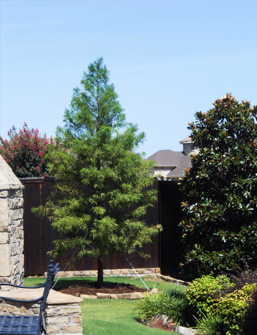 Large Bald Cypress tree planted next to a Little Gem Magnolia to create privacy in backyard. Tree planted by Treeland Nursery in Frisco, Texas.