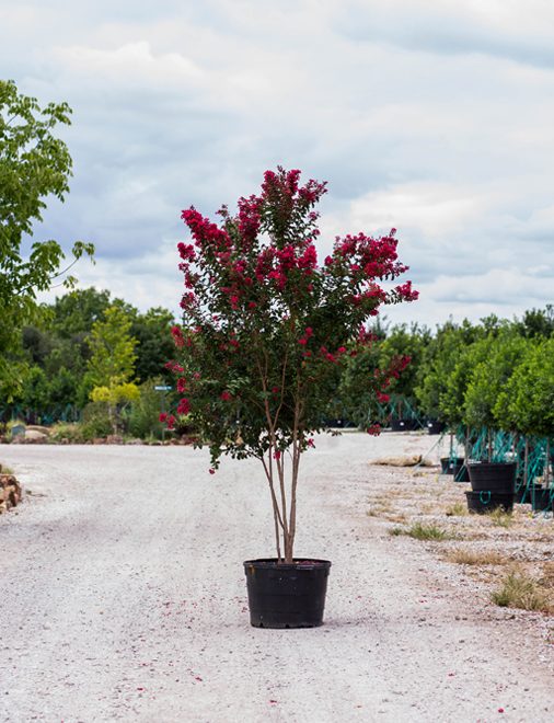 Centennial Spirit Crape Myrtle with lots of red blooms. Photgraphed at our tree farm by Treeland Nursery.