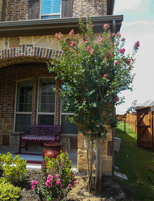 Tuscarora Crape Myrtle planted in flower bed in frontyard. Tree installed and planted by Treeland Nursery.