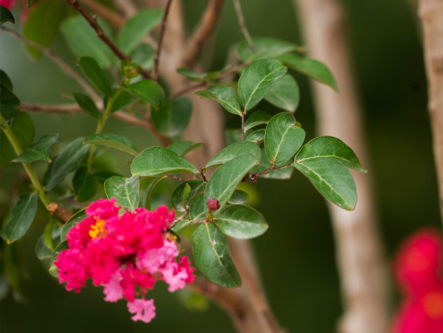 Centennial Spirit Crape Myrtle flowers and leaves. Photographed by Treeland Nursery.