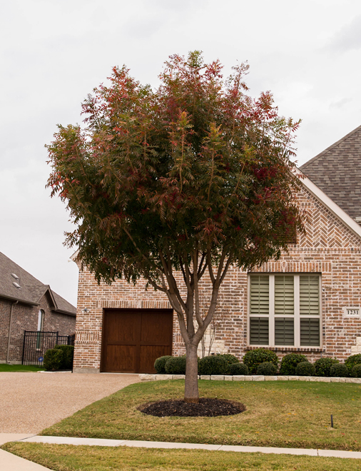 Maturing Chinese Pistachio Tree which is just starting to turn Fall colors in Prosper, TX. Photographed by Treeland Nursery.
