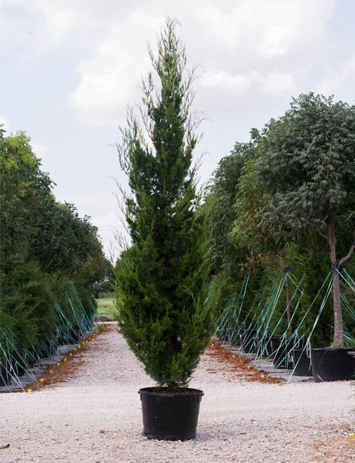 A Brodie Eastern Red Cedar in a container. Picture taken at our tree farm at Treeland Nursery which is north of Dallas, Texas