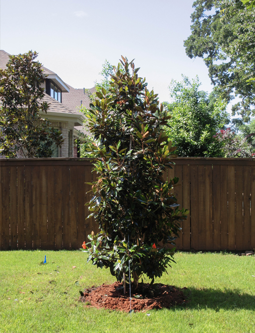 Evergreen Little Gem Magnolia planted in a backyard for year round color.  Trees planted by Treeland Nursery.