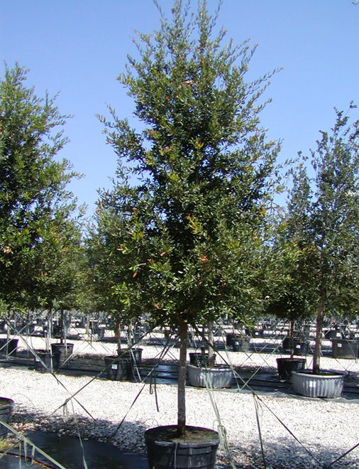 Live Oak tree in inventory at our tree farm. Picture was taken by Treeland Nursery which is north of Dallas, Texas.