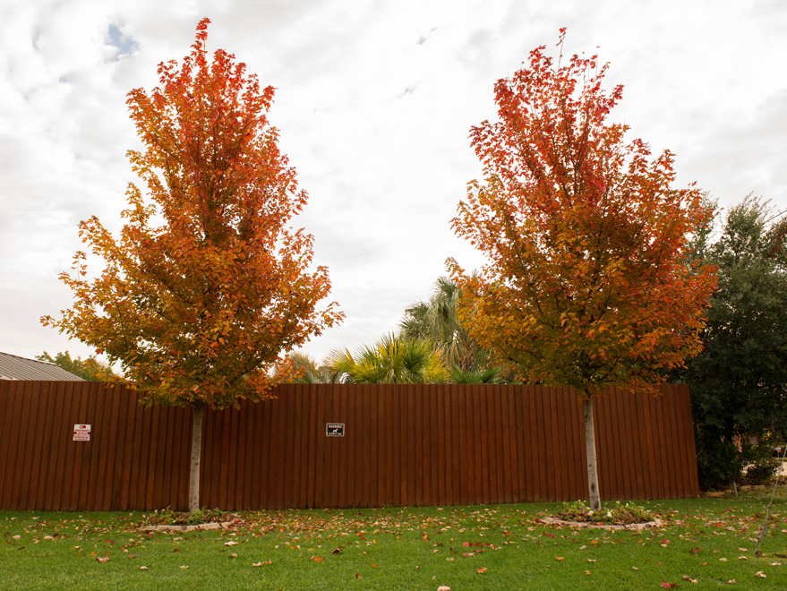 Maturing October Glory Maples turning Fall colors in Arlington, TX. Photographed by Treeland Nursery.