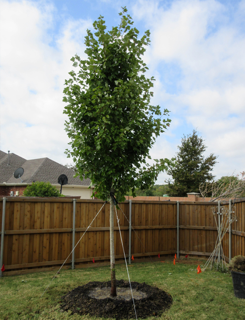 Newly planted October Glory Maple in a Frisco, Texas backyard. Installed and planted by Treeland Nursery.