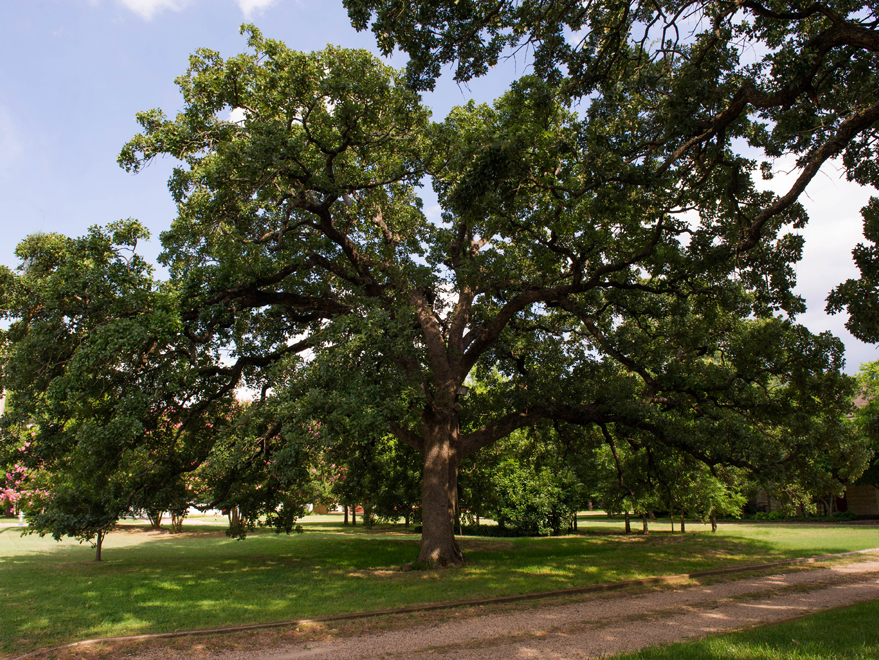 Mature Bur Oak Tree found in Arlington, Texas. Photographed by Treeland Nursery.