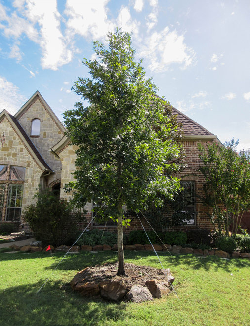 Red Oak Tree planted by Treeland Nursery in a Colleyville, Texas frontyard.