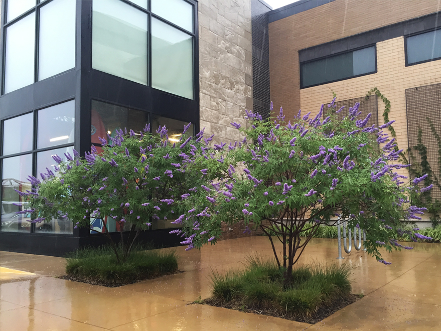 Gorgeous grouping of Maturing 'Shoal Creek' Vitex Trees found in Southlake, TX. Vitex Trees bloom throughout the Summer. Photographed by Treeland Nursery.