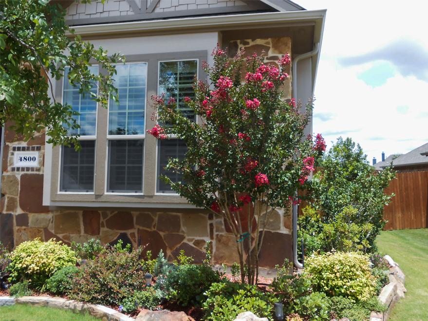 Tuscarora Crape Myrtle planted in a frontyard flowerbed by Treeland Nursery.