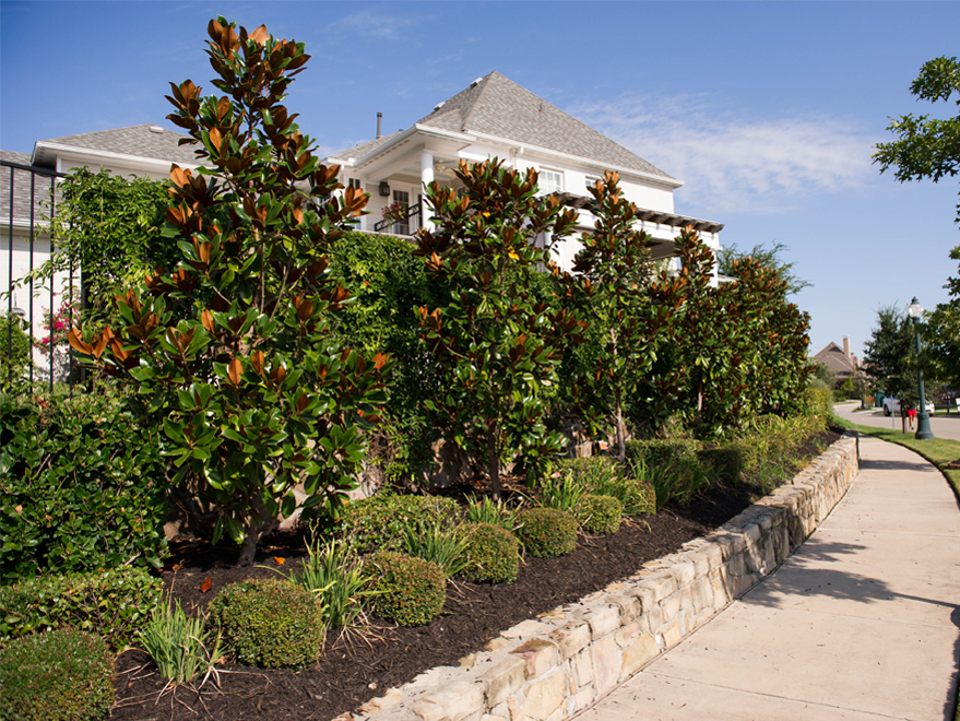 Row of DD Blanchard Magnolias which will bloom out with beautiful creamy white flowers in the Summer. Photographed by Treeland Nursery in Carrollton, TX.