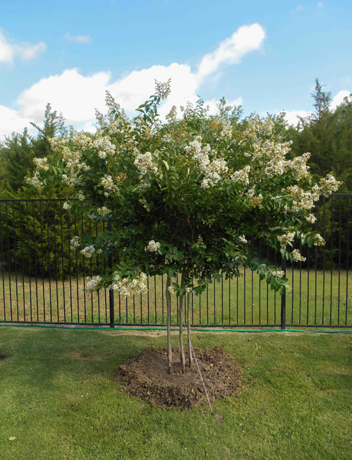 White Natchez Crape Myrtle tree planted in a backyard by Treeland Nursery. White Flowering trees used in North Texas landscapes.