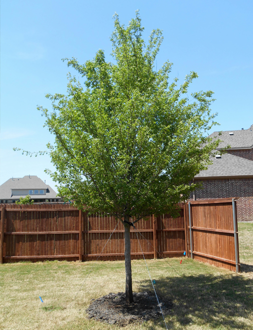 Large Allee Elm Tree planted in a backyard by Treeland Nursery.