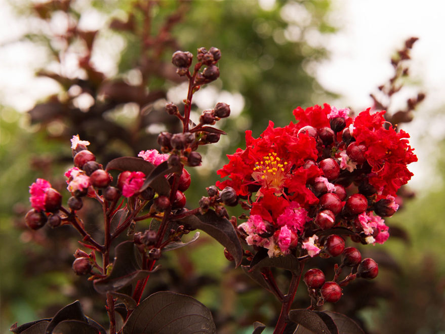 Dark red flowers on a Black Diamond Crape Myrtle at Treeland Nursery.