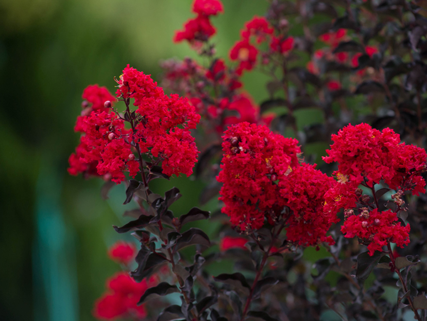Dark purple leaves and bright red flowers on a Black Diamond Crape Myrtle. Photographed at our tree farm by Treeland Nursery.