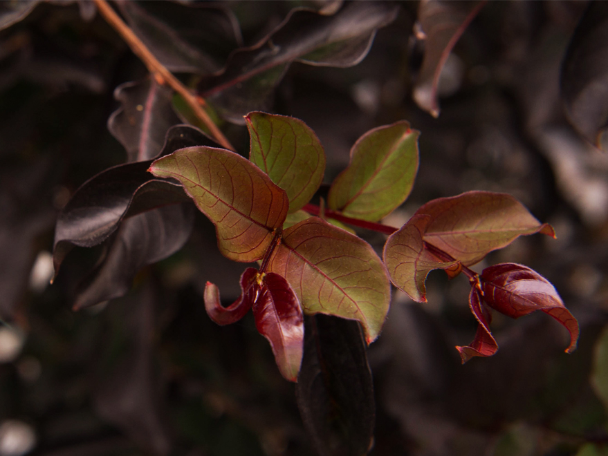 New leaf growth on a Black Diamond Crape Myrtle. Photographed by Treeland Nursery.