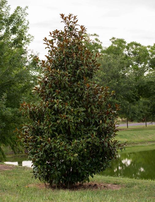 Bracken Brown Beauty Magnolia Dallas Texas Treeland Nursery